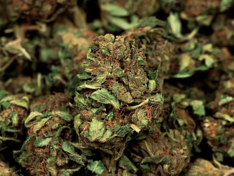 Black Rabbit Marijuana use becomes highly popular among teenagers